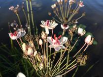 Речные цветы