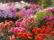 Хризантемная поляна