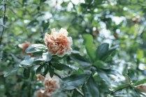 Сочинская роза