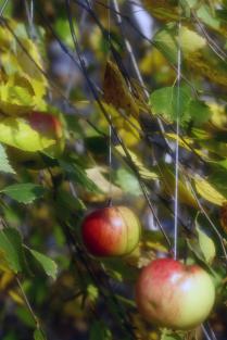 Осень. Яблоки на березе.