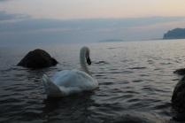 Лебедь в море