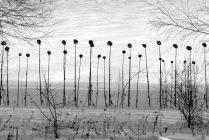 Подсолнухи зимой