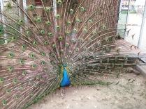 Павлин в парке культуры и отдыха