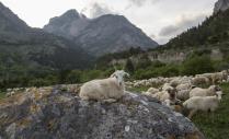 Отара овец в горах кавказа