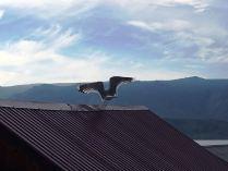 Крик байкальской чайки