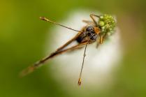 Бабочка буроглазка