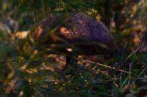 Фиолетовый гриб