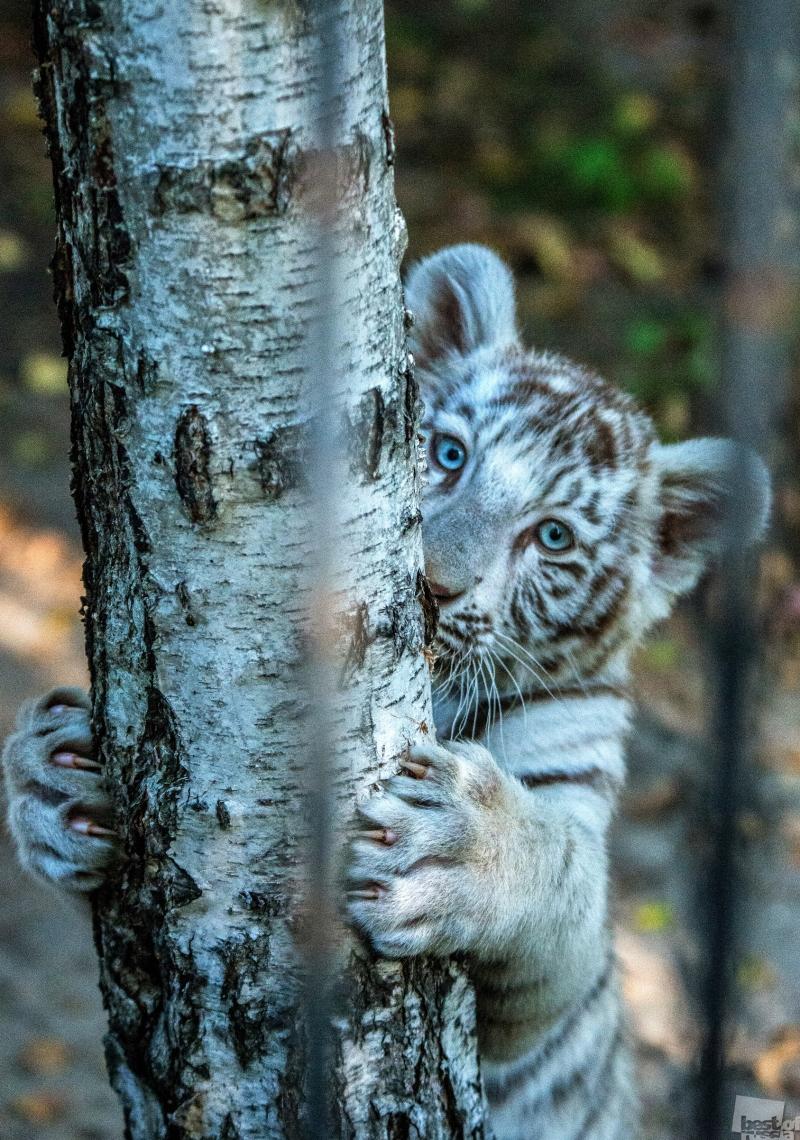 """Белая береза, синие глаза, маленький тигренок """"Здравствуй!"""" мне сказал..."""