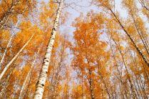 Новосибирские берёзки