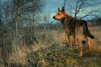 Словно волк