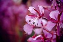 Цветок Иван - чая