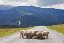 Когда на дороге действительно одни бараны