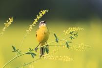 Ария желтогрудого