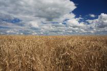 Пшеница и облака