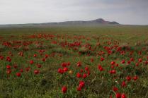Баскунчакские тюльпаны