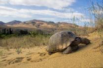 Сарыкумская черепаха
