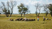 Пастушки.