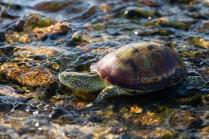 Иберийская болотная черепаха