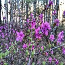 Где-то багульник на сопках цветет