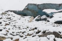 Пес Туман и малый ледник Актру