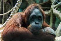 Скупые слезы гориллы