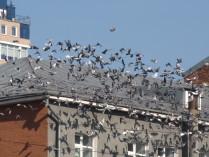 Летите, голуби