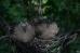 Птенцы Большой горлицы