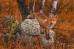 Любопытный тигирекский лис