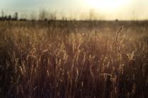 Травы на закате