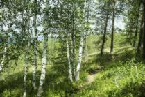 Березы Южного Урала