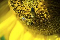 Пчелы на подсолнечнике