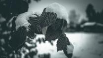 Снежная малина