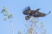 Парение орлана