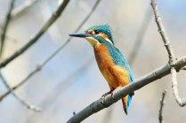Голубой зимородок