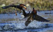 Утки мандаринки прилетели на гнездование в Приморский край
