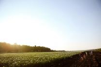 Чипсовое поле