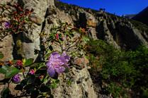 Цветы маральника