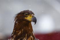 Орел - символ Кавказа!