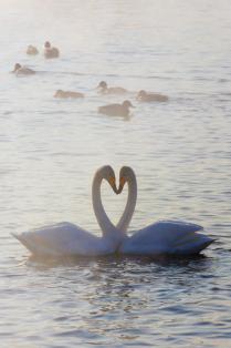Любовь и лебеди