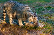 Бенгальский тигр. Тигрица убаюкивает тигренка.