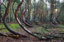 Пьяный лес или танцующий лес.