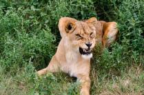 """Тигрица в парке львов """"Тайган"""""""