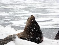 Гордый сивуч на берегу Авачинской бухты в Петропавловске-Камчатском