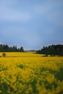 Желтое поле.