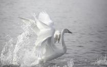 Лебединые танцы
