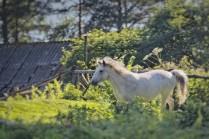 Конь - пастух