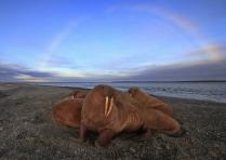 Лаптевские моржи
