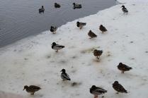 Утки в парке весной.