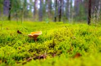 Лисичка на зеленом ковре