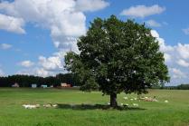 Летний дуб